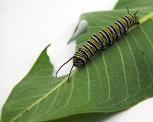 """Rostliny údajně """"slyší"""" i hmyz, například nebezpečné housenky."""