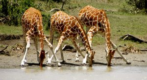 Aby se žirafy mohly napít, musí přední končetiny doširoka rozkročit.