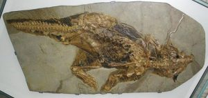 Zkoumaná zkamenělina pochází se sbírek Senkenberg Muzea ve Frankfurtu.