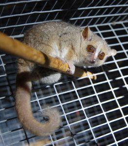Maki trpasličí (Microcebus murinus) je s hmotností 58 - 67 gramů jedním z nejmenších primátů na světě.