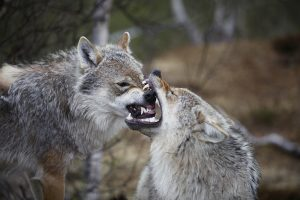 Všechna současná psí plemena můžeme zpětně vystopovat ke dvěma skupinám vlků.