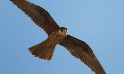 Latinský název ostřížů jižních - Falco eleonorae je odvozen od slavné sardinské hrdinky Eleanor z Arborey.