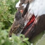 Poddruh pěnkavy ostrozubé (Geospiza difficilis) je jediným krev sajícím ptákem.