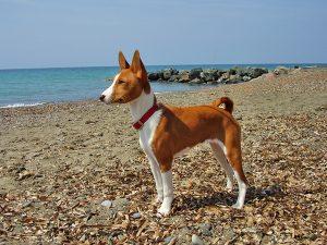 Jedním z nejprimitivnějších dosud existujících plemen psů je basenji.