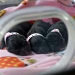 Kromě dobytka se v továrně budou klonovat i domácí mazlíčci, například pejsci.