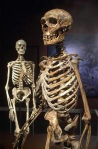 V popředí rekonstruovaná kostra neandertálce, v pozadí kostra anatomicky moderního člověka.