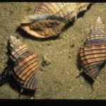 Zvláštního parazitického chování těchto plžů si všimli potápěči už v 80. letech.