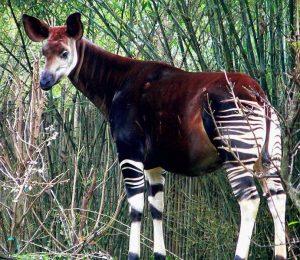 Nejbližším žijícím příbuzným žiraf je okapi (Okapia johnstoni).