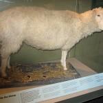 První ovcí a naklonovaným savcem vůbec se v roce 1996 stala Dolly.