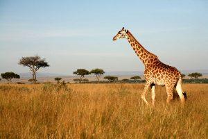 Přirozeným prostředím dnešních žiraf jsou suché savany a otevřené pláně.
