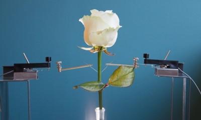 Uříznutá růže byla ponořená ve speciálním roztoku, ze kterého nasávala polymer tvořící vodiče.
