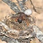 Když se mládě kukačky vylíhne, vytrčí z hnízda ostatní mláďata.