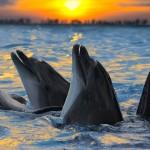 Delfíni jsou obecně pokládáni za inteligentní tvory, poslední výzkum ale ukazuje, že jsou chytřejší, než jsme mysleli.