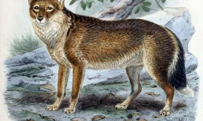 Dogs, jackals, wolves, and foxes London R.H. Porter 1890  http://www.biodiversitylibrary.org/item/57042