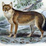 """Falklandský """"vlk"""" byl spíše jako šakal"""