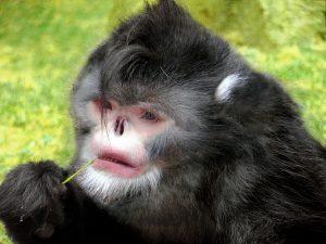 Beznosá opice
