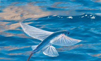 Létající ryby