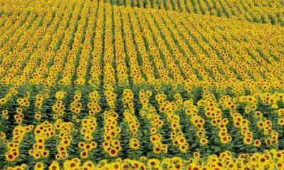 Pohyb, případně růst rostlin ve směru předpokládané polohy Slunce se nazývá heliotropismus.