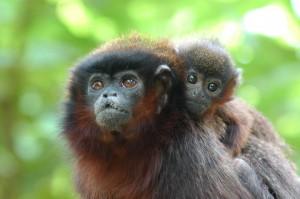 Brazilské opice si vytvořily vlastní poplašný systém