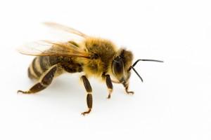 Včelí tanec vysvětluje, kde je něco k snědku