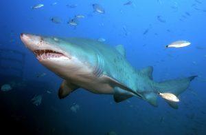 Žralok písečný